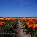 Océano de tulipanes dividido
