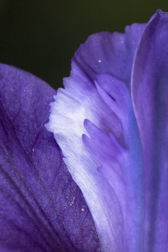 Iris 'Velvet Ruffles' closeup