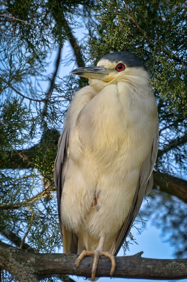 Roosting Black Crowned Night Heron