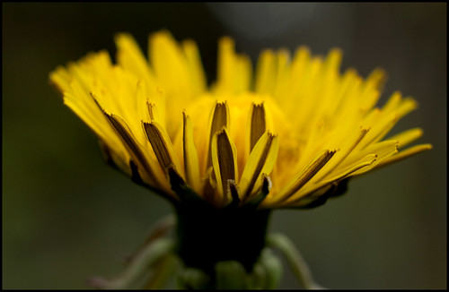 Dandelion (by StarbuckGuy)
