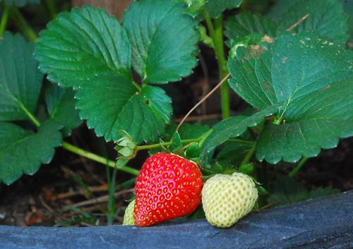 122/365 strawberry