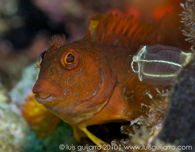 Orange Blenny Portrait 10/365