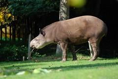 Flachlandtapir im Zoo de La Flèche