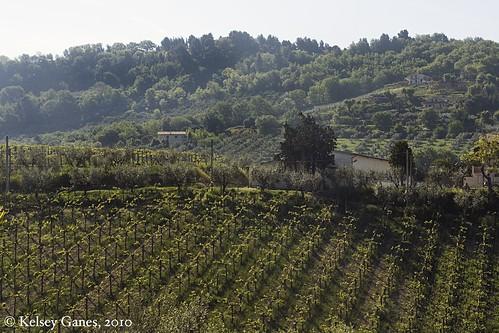 Vineyards in Chieti