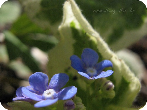 variegated perennial forget-me-not