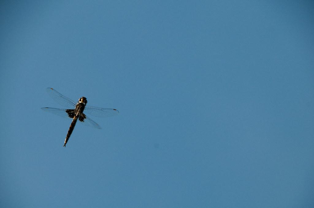 A curious dragonfly