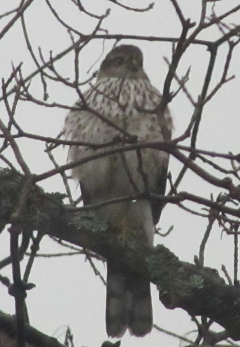 Sharp-shinned Hawk - first-winter male