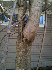 Graft scar on cherry tree