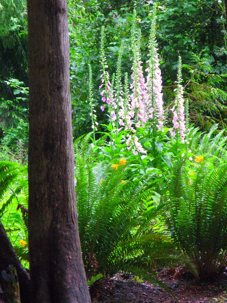 Foxgloves in the Woods 2