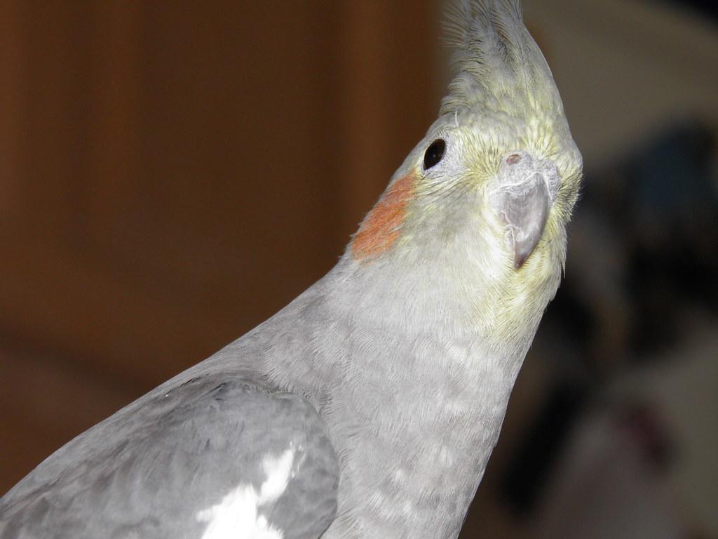 Black White Grey And Duck Beak