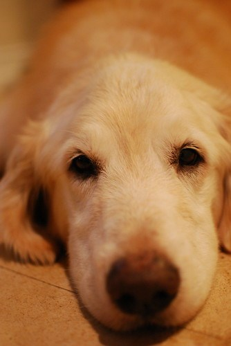 Sleepy sepia golden retriever