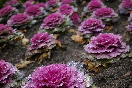 ornamental purple cauliflowers