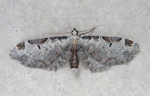7605 - Eupithecia ravocostaliata - Tawny Eupithecia (2)