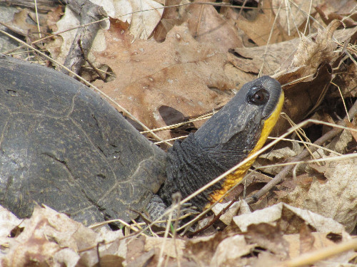 Blanding's Turtle (photo by Dan)