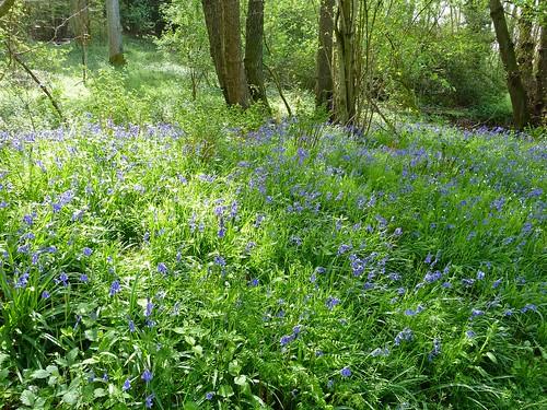 Bluebells, Steep Marsh