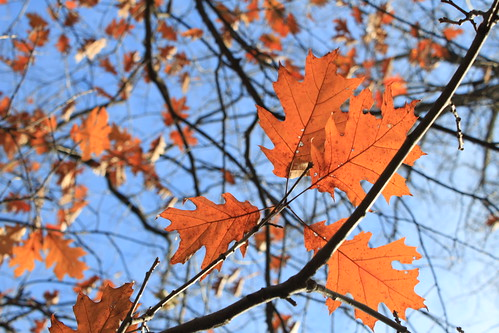 Marshfield, Wisconsin - Oak Leaves in Fall