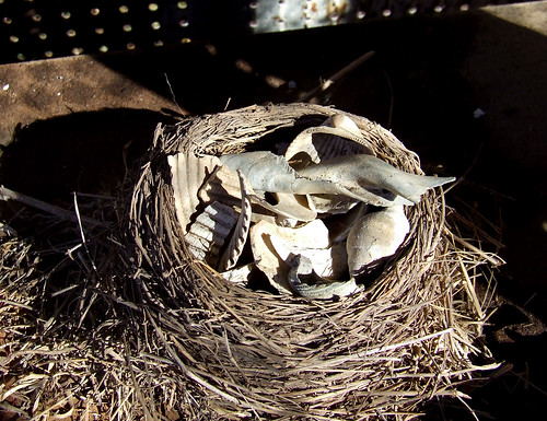 old robin nest