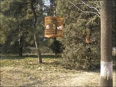 Beijing - singing birds