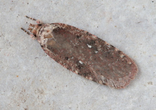 862 - Agonopterix clemensella - Clemens's Agonopterix