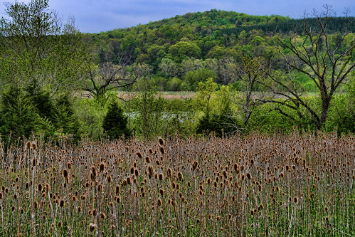 From a Field of Teasel