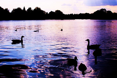 Swans on the Serpentine 1