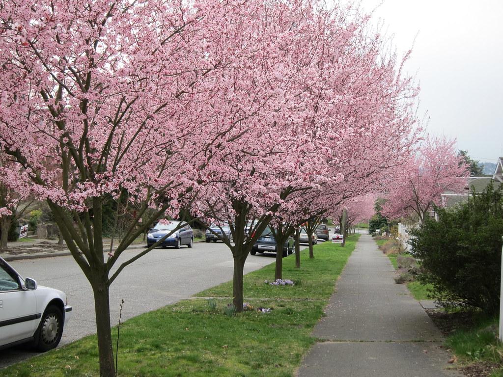 Plum trees abloom