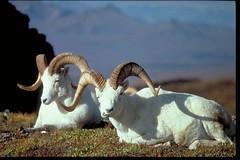 Long-Horned Sheep