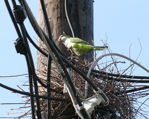 Parrot Adjusting Nest