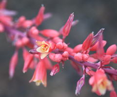 Red Yucca Blooms in Macro