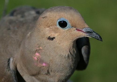 Mourning Dove - female