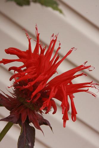 365-160 red flower