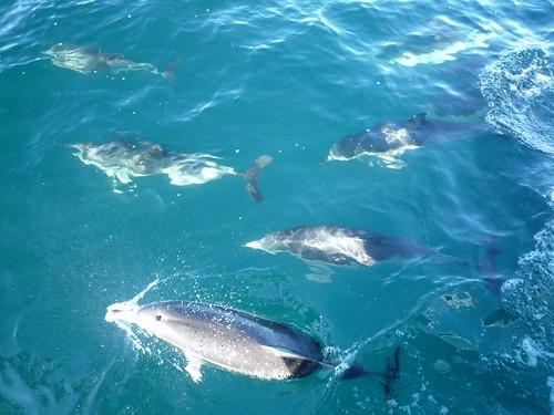 Delfine umkreisen unser Boot, Tauranga