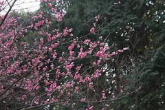 四季の森公園の紅梅(Japanese Apricot at Shikinomori park, Japan))
