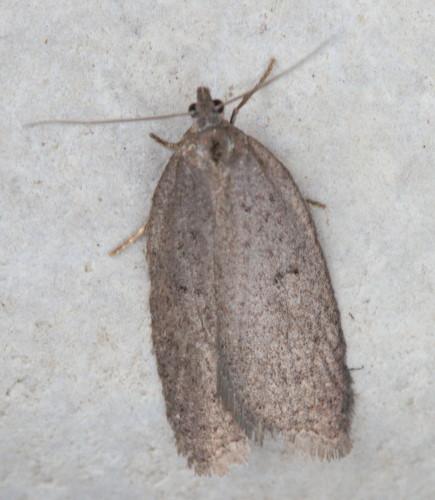 914 - Semioscopis inornata - Inornate Semioscopis