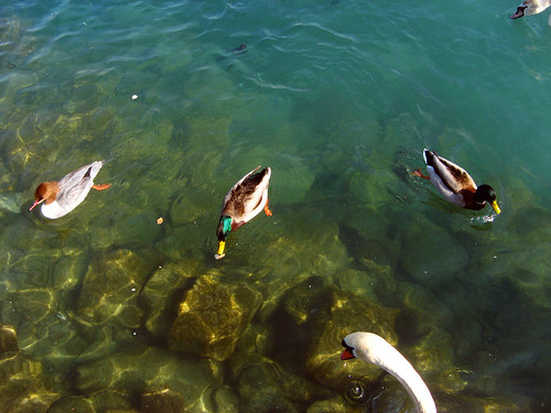 a few ducks and a swan head