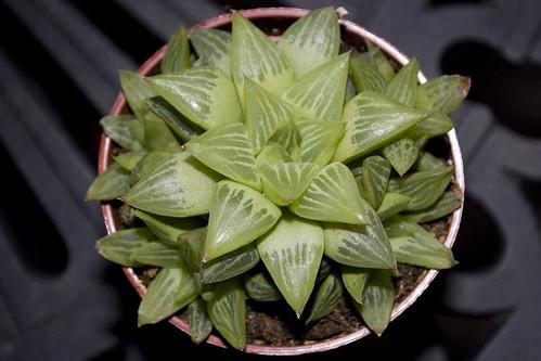 Haworthia sp.
