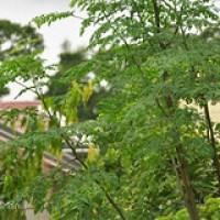Moringa, ein starker Partner für eine gesunde Ernährung