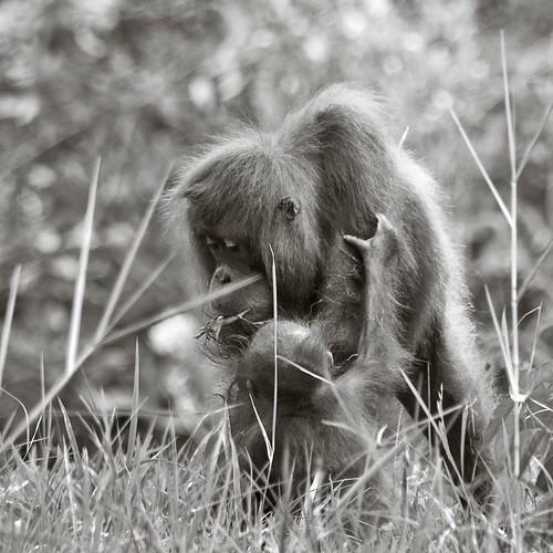 orang utan and baby