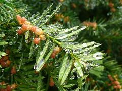 Raindrops on yew