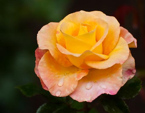 Rose Series 1 of 4 (by orb9220)