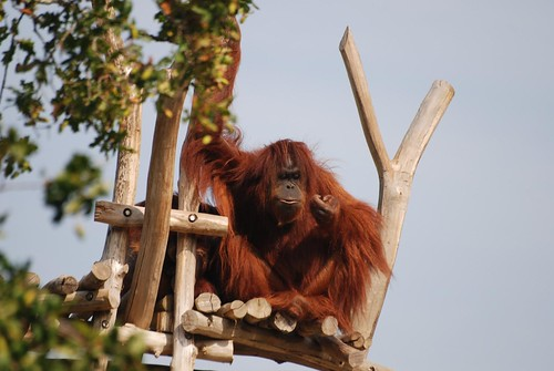 Orang-Utan im Zoo de La Palmyre