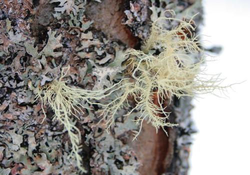 Usnea lichen
