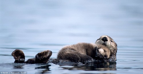 Fuzzy sea otter pup resting on its mothers belly, as they both float on a calm ocean