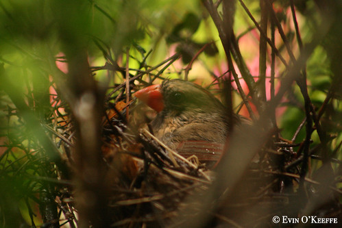 Cardinal with Nesting Instincts