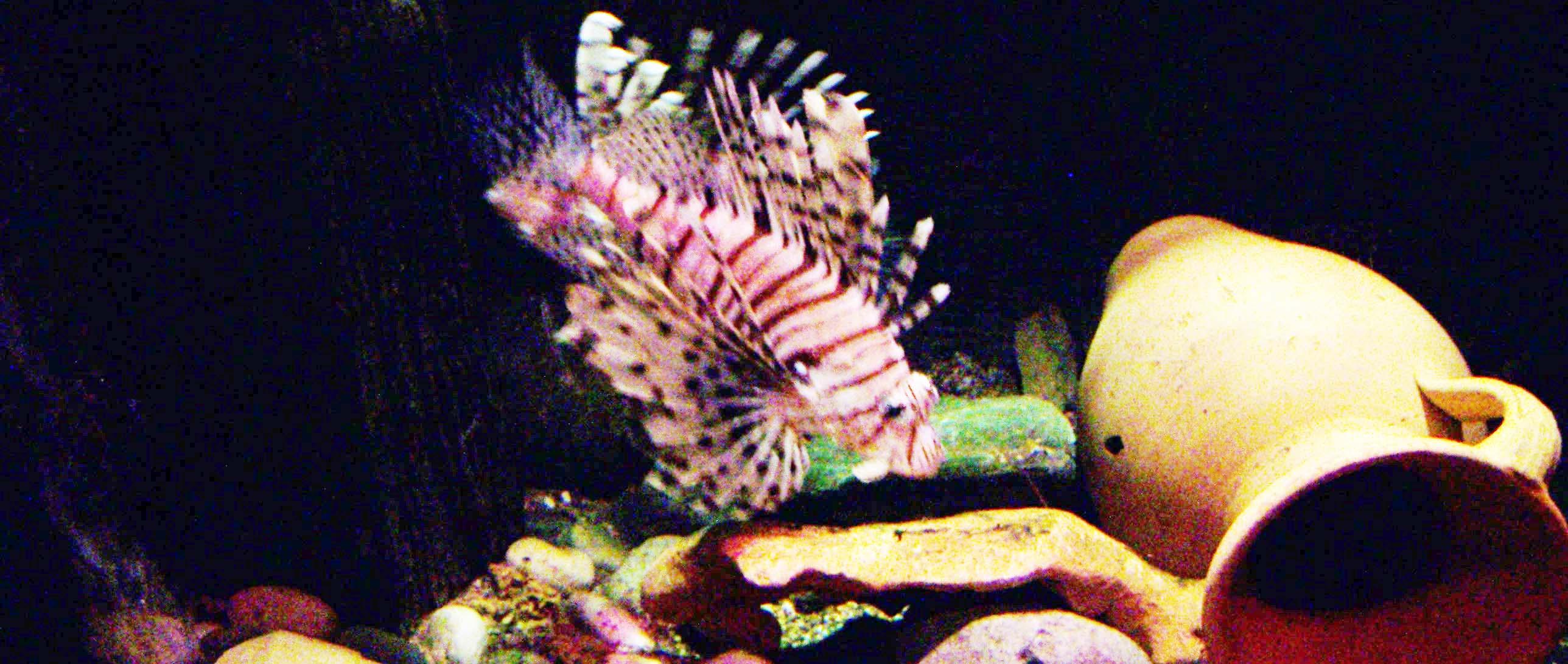 Feuerfisch Amphore
