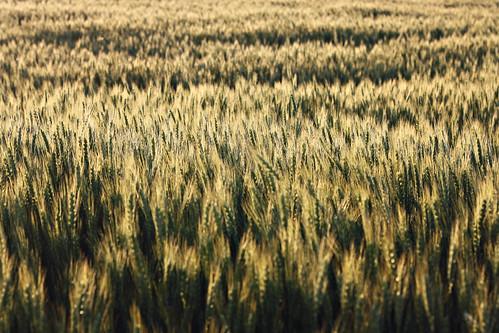 IMG_5624wheat