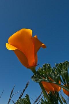 4 of 4 California Poppy (Eschscholzia californica) Flowers at Montana de Oro, Los Osos, CA