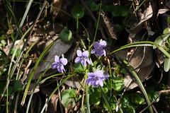 新治市民の森のアオイスミレ(Violet at Niiharu civic forest, Japan)