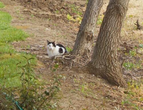Holstein Kitty