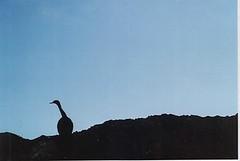 pelagic cormorant